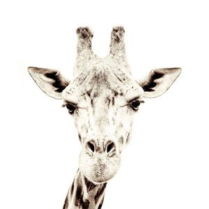Tapet magnetic-girafa-63, 5x265 imagine